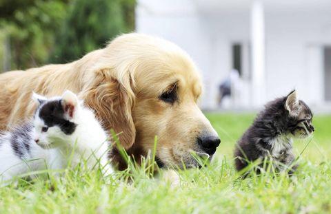 Vertebrate, Dog breed, Carnivore, Dog, Mammal, Terrestrial animal, Snout, Retriever, Sporting Group, Companion dog,