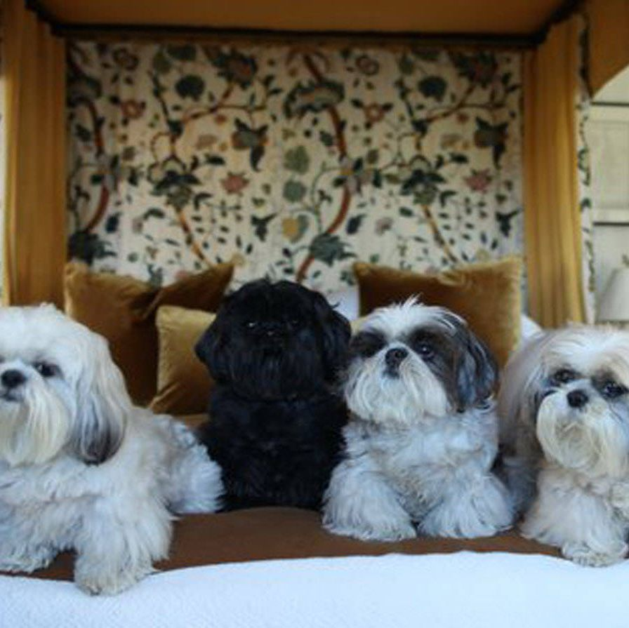 """Dora, Hercule, Bess, and HenrietteThese Shi Tzus live in the lap of luxury and interior designer Robert Couturier wouldn't have it any other way. Dora's story of rags to rescue was featured on the ASPCA blog.Likes: Dora, 3, likes sunshine, catching a ball, running in the grass trying to catch butterflies. Hercule, 7, adores Dora and follows her around the garden. Bess, 10, likes to be spoon-fed and to be carried for her walks. Henriette, 13, the """"Queen"""" likes nothing better to sleep on the sofa, alone.Natural Habitat: Silk velvet pillows."""