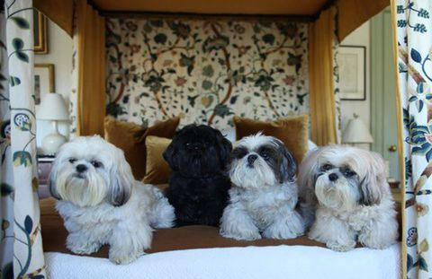 "Dora, Hercule, Bess, and HenrietteThese Shi Tzus live in the lap of luxury and interior designer Robert Couturier wouldn't have it any other way. Dora's story of rags to rescue was featured on the ASPCA blog.Likes: Dora, 3, likes sunshine, catching a ball, running in the grass trying to catch butterflies. Hercule, 7, adores Dora and follows her around the garden. Bess, 10, likes to be spoon-fed and to be carried for her walks. Henriette, 13, the ""Queen"" likes nothing better to sleep on the sofa, alone.Natural Habitat: Silk velvet pillows."