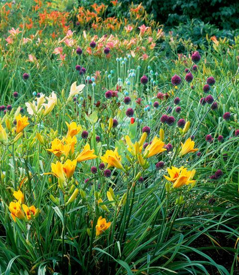 """While citrus-hued daylilies are already pretty splashy on their own, the Moores bucked conventional wisdom by pairing them with alliums in equally assertive but seemingly contradictory shades of purple—to brilliant result. As Joyce says, """"Color is particularly important where you don't have structure."""""""