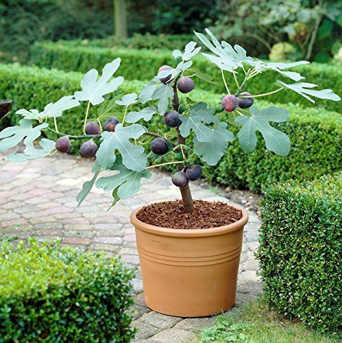 Image result for images fig tree