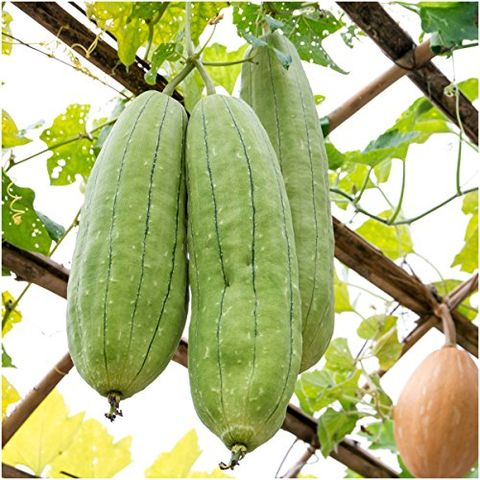 How To Grow Your Own Loofah Sponge Tips For Growing Luffa Gourd Plants