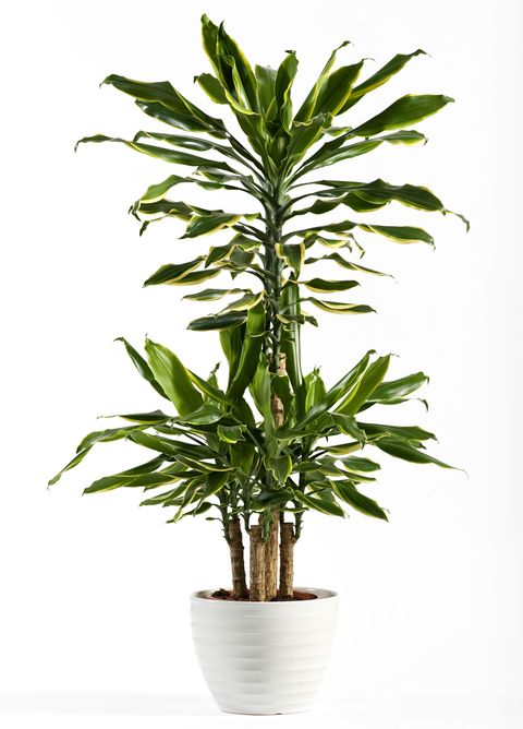 18 Best Indoor Trees - Large Indoor Plants for Every Room ...