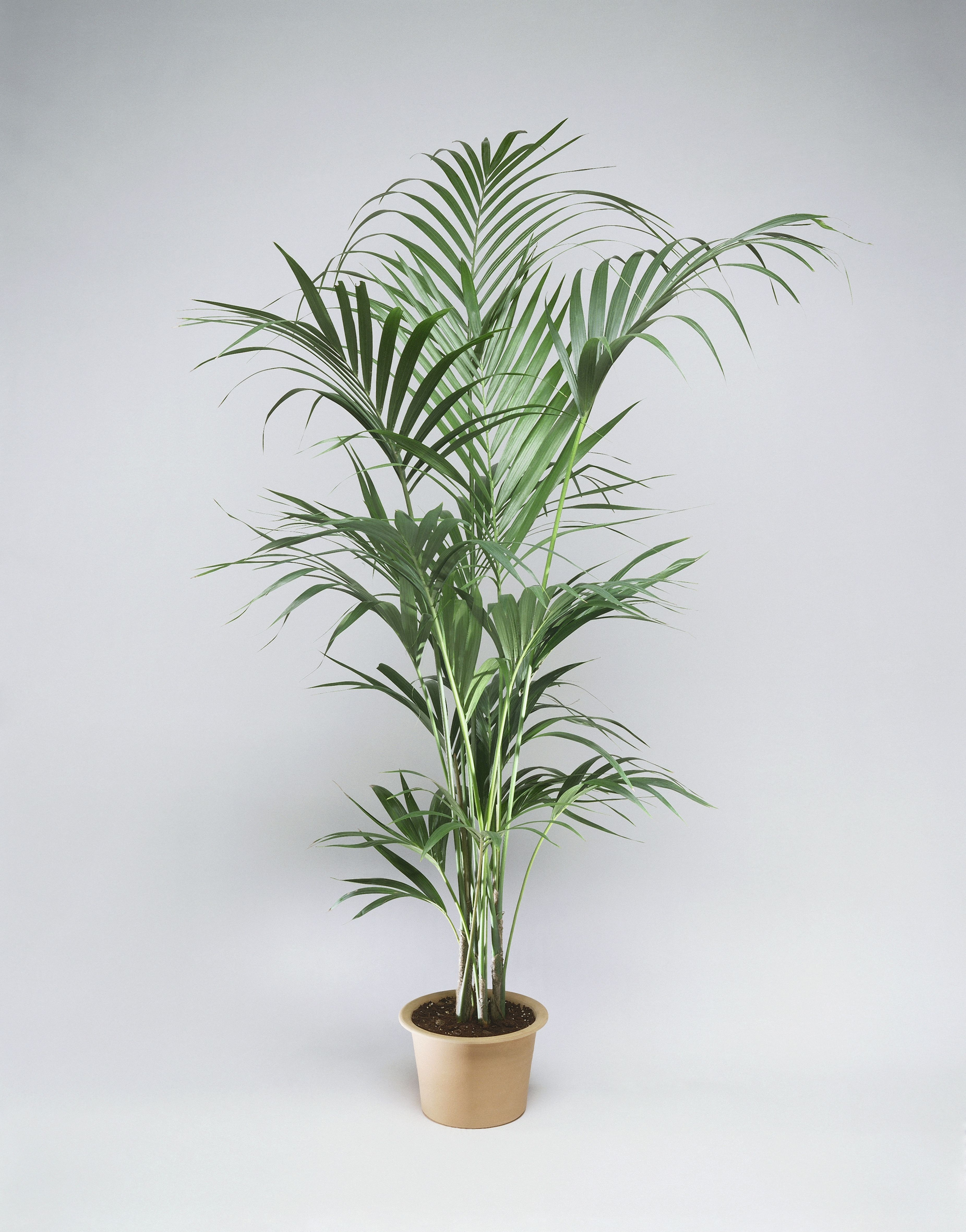 Kentia Palm (Howea Forsteriana) on house plant with peach blooms, house plant with jagged leaves, house plant with curly leaves, plant with spikes on leaves, indoor plants with long leaves, house plant identification leaves, house plant with brown leaves, house plant with green and yellow variegated leaves, house plant with bumpy leaves, house plant with waxy flowers, house plant with striped leaves, house plant with heart shaped leaves, house plant spiky green yellow, house with pink and green plant leaves, house plants with colorful leaves, house plant with fuzzy leaves, house plant with pointed leaves, house plant with big leaves, indoor plants with colorful leaves,