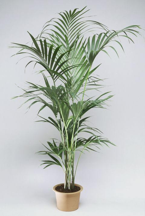 17 Best Indoor Trees - Large Indoor Plants for Every Room in ... Palm Trees House Plants on house plant schefflera arboricola, house plant palm care, bamboo tree, house plant flower, house plant orchid, house plant swedish ivy, yucca house plant tree, house plant arrow, house plant rubber plant, house plant grass, house plants that look like trees, low maintenance indoor plants tree, house plant pineapple, house plant house, house plant with green leaves and white, corn house plant tree, house plant umbrella tree, house plant bamboo, house plant propagation, house plant pink,