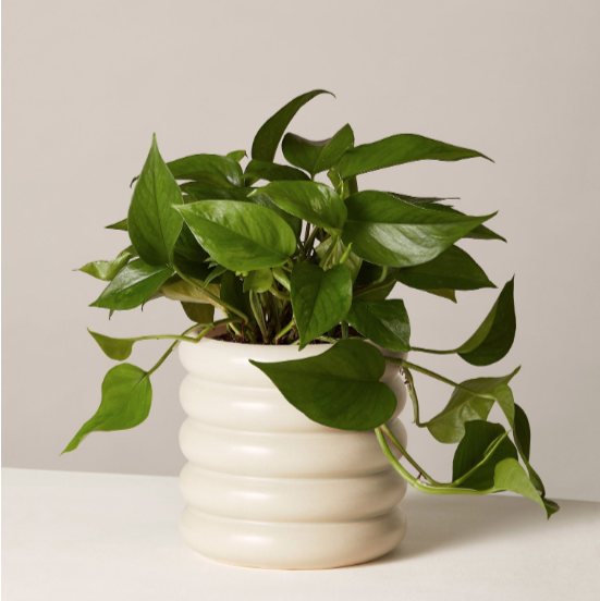 Jade Pothos Plant thesill.com $57.00 SHOP NOW Plants not only make people happy, but they purify the air. If the new mom in your life is spending a lot of time at home with baby, she'll appreciate you adding something fresh and green to her space.