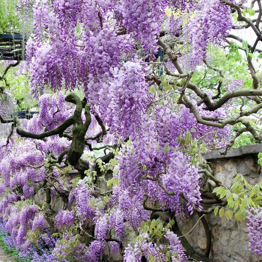 Wisteria Home In 2019: Home Depot Is Selling Wisteria Trees You Can Plant In Your