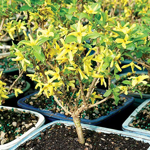 Live Forsythia Outdoor Bonsai Tree Brussel's Bonsai amazon.com $28.00 SHOP NOW If your mama's got a green thumb, she'll love putting it to use planting a bonsai tree outside. Every spring,  buttercup yellow flowers will bloom, making it the gift that keeps on giving.