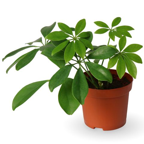 30 Easy Houseplants - Easy To Care For Indoor Plants Ideal House Plants on wrightsville house, american girl house, easy clean house, beach house, home small modern house, fluff house, palladium house, gearhead house, topper house, anthem house, the rat house, average house, perfect house, actual house, dibs house, uncomfortable house, reliance house, mattel house, idea house, immense house,