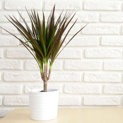 30 Easy Houseplants - Easy To Care For Indoor Plants Desert House Palm Plants on portola valley houses, pleasant hill houses, arroyo grande houses, mendocino houses, buena park houses, barstow houses, hughson houses, ladera ranch houses, twentynine palms houses, wildomar houses, coachella valley houses, lost hills houses, trona houses, fountain valley houses, canoga park houses, prather houses, sanger houses, salinas houses, los osos houses, sonoma county houses,
