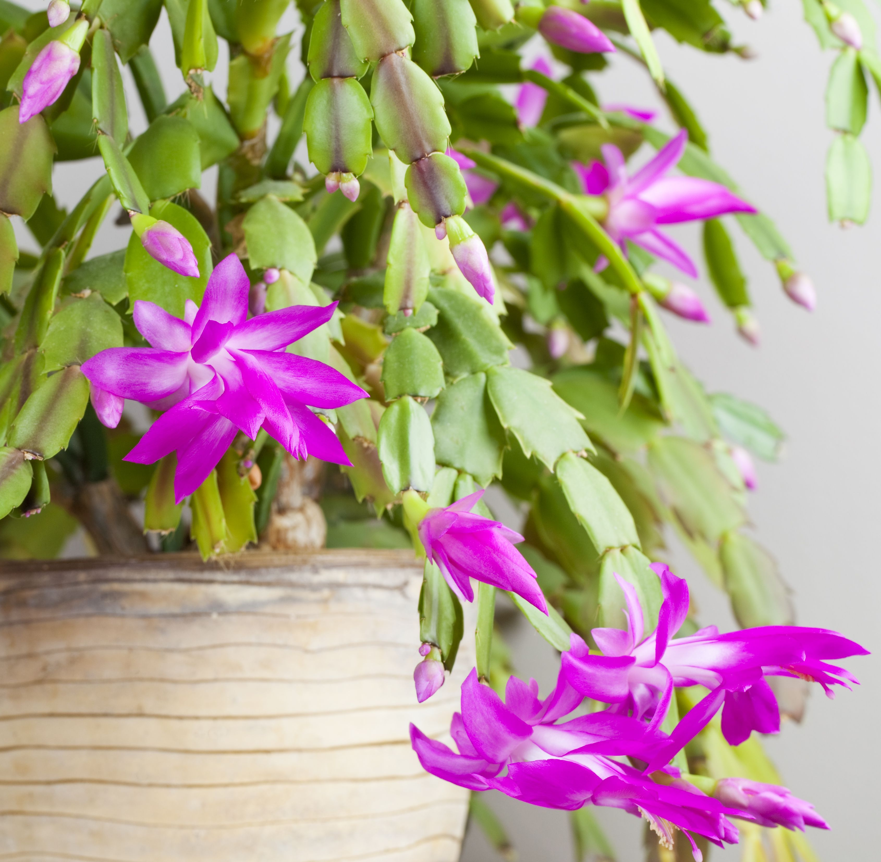 Christmas Cactus on house plants with long green leaves, house plants with bronze leaves, house plants and their names, house plant rubber plant, florida plants with red leaves, house plants with colorful leaves, poisonous plants with purple leaves, purple foliage plants with leaves, perennial plants with purple leaves, house with red flowers, house plants with dark red leaves, wandering jew with fuzzy leaves, house plants with small leaves, purple house plant fuzzy leaves, olive tree green leaves, house plant purple heart, tomato plants with purple leaves, house plants with light green leaves, house plants with shiny leaves, house plants with waxy red blooms,