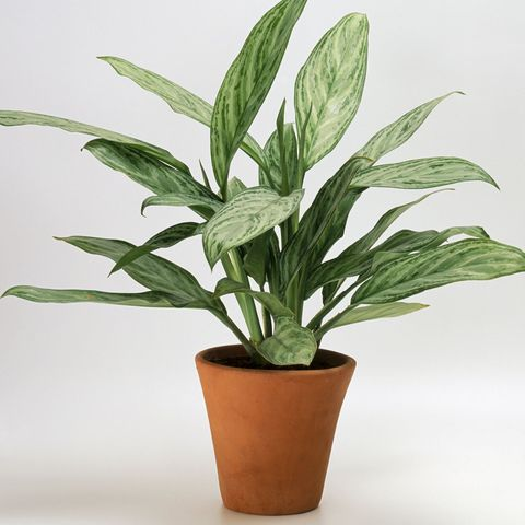 30 Easy Houseplants - Easy To Care For Indoor Plants Houseplant Ffenbachia Low Light on low light health, low light palms, low light flowers outdoors, low light shrubs, low light bromeliads, low maintenance shade plants, low light orchids, low palm bushes, low light trees, low light plants, low maintenance indoor plants, low light landscaping, low light weeds, low light succulents, low light tropicals, low light roses, low light bonsai, low light garden, low light vines, low light cactus,