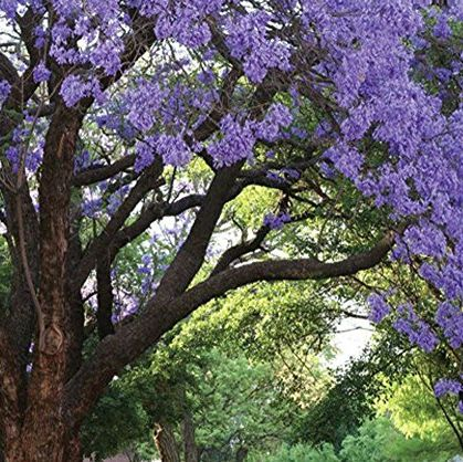 Jacaranda Trees The West Coast Version Of The Cherry Blossom Are Blooming All Over California