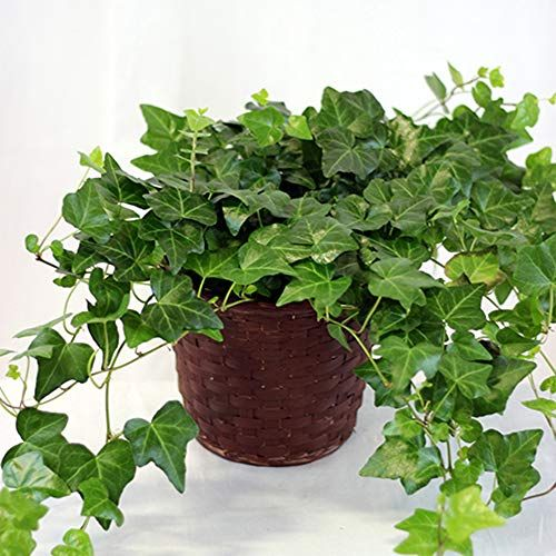 Indoor Ivy How To Grow English Ivy