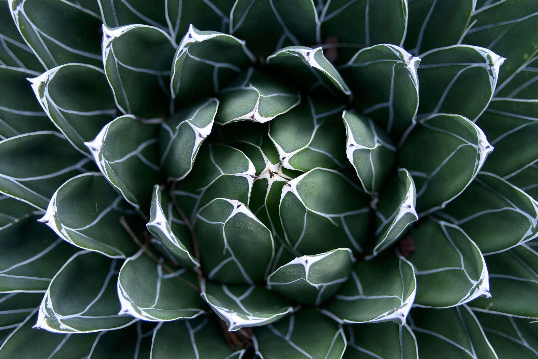 Piante Adatte Al Sole Diretto 50 semi rare agave victoriae