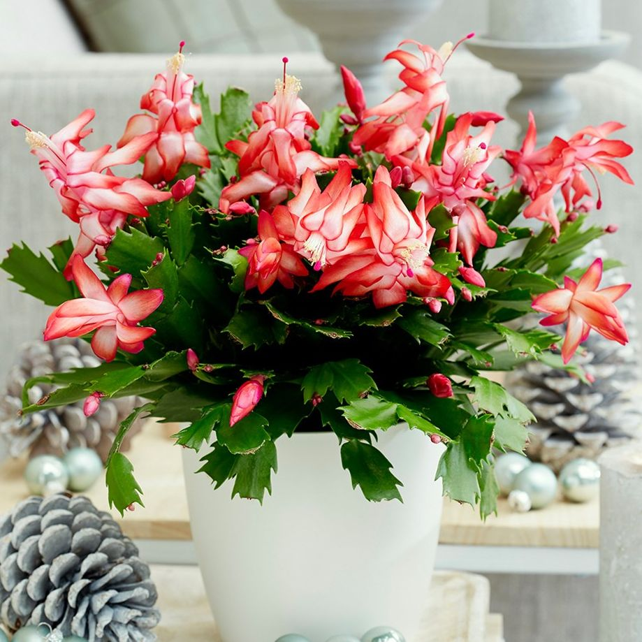 How To Care For Christmas Cactus.Christmas Cactus Christmas Cactus Care Guide How To Rebloom