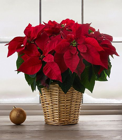 Poinsettia Care Tips 9 Golden Rules For A Poinsettia Plant