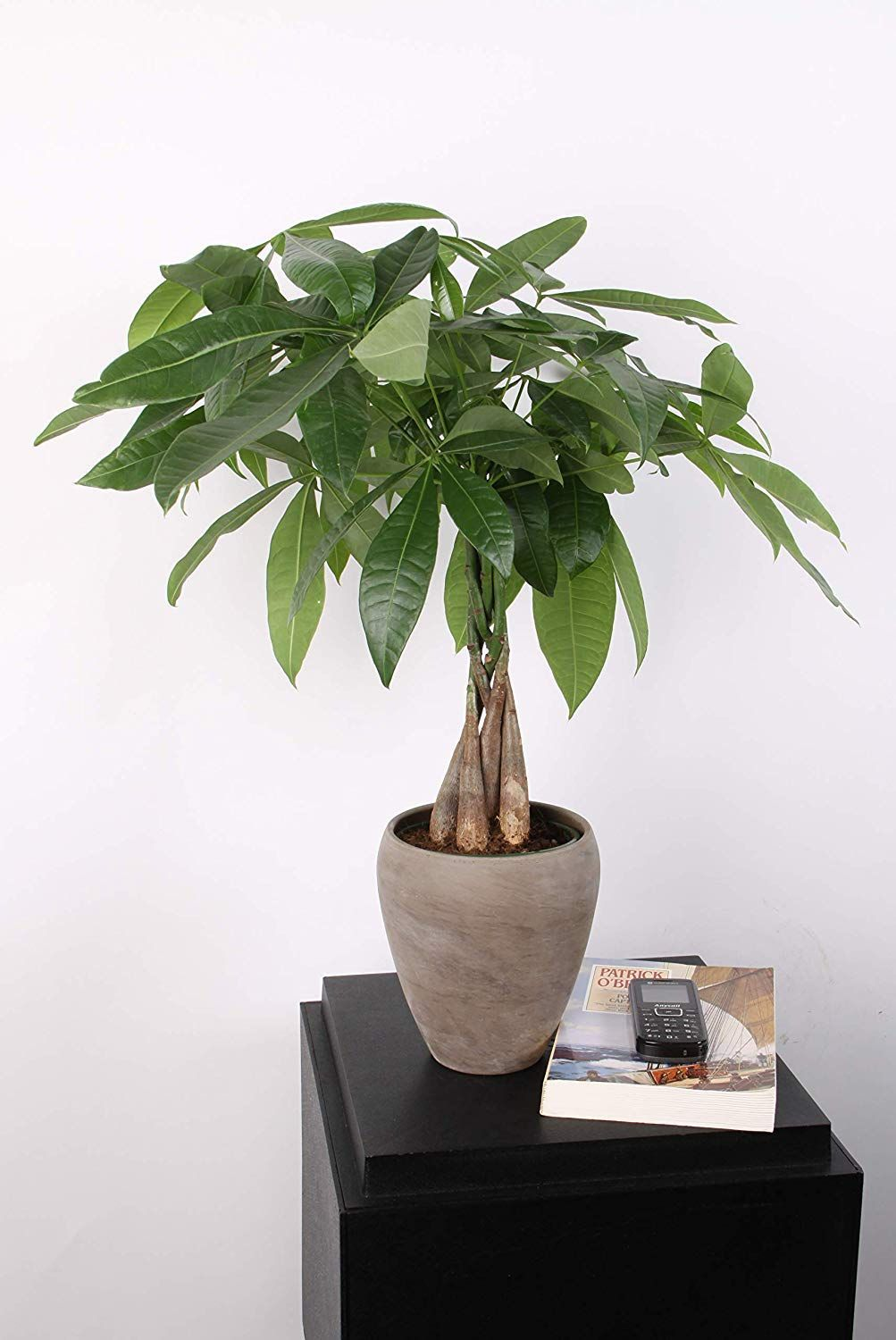 Money Tree Care How To Grow A Lucky Money Tree Plant
