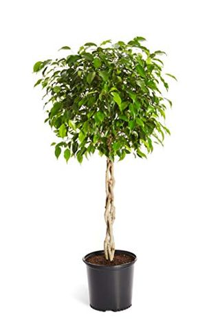 Ficus Tree Care What To Know,Steamed Broccoli Brockly