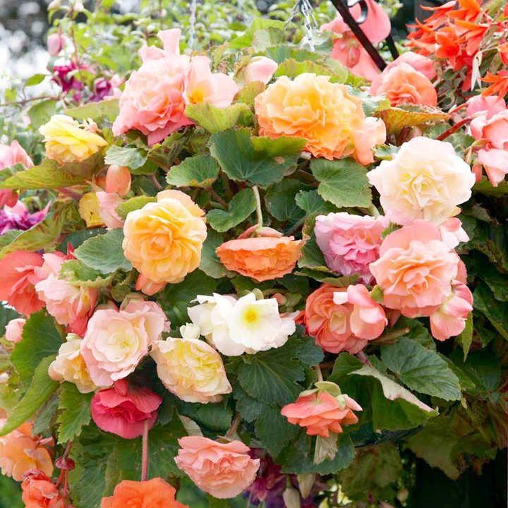 8 Best Hanging Basket Plants Hanging Basket Flowers