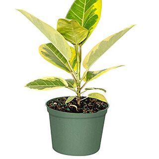 Ficus Altissima (Council Tree)