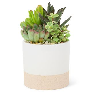 4 in. Succulent