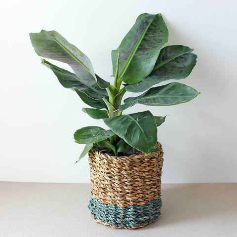 Banana Plant Buying Growing Caring For A Banana Leaf Plant