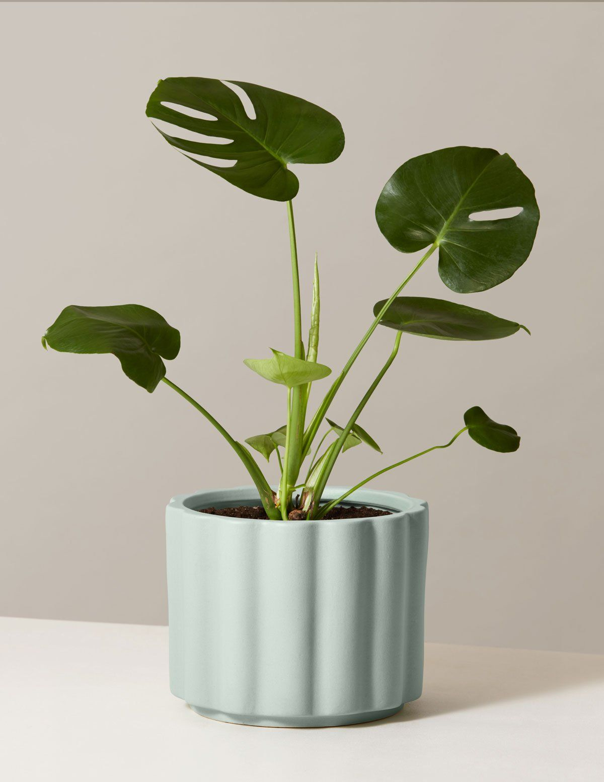 How To Take Care Of Monstera Deliciosa The Swiss Cheese Plant