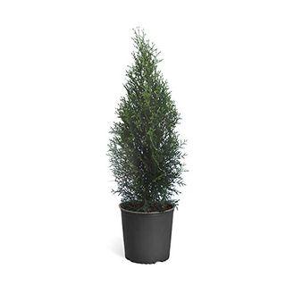 Emerald Green Arborvitae Evergreen Tree