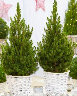 Une paire de sapins de Noël contemporains denses de 60 à 70 cm