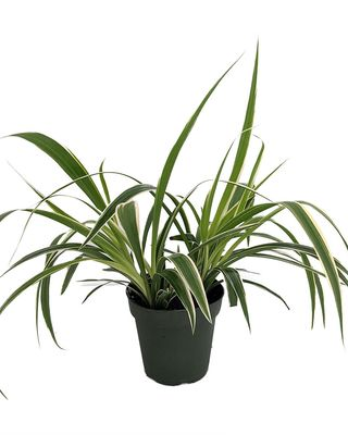 Irish Spider Plant