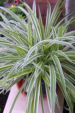 Reverse Variegated Spider Plant