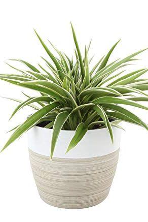 Spider Plant in Decorative Pot