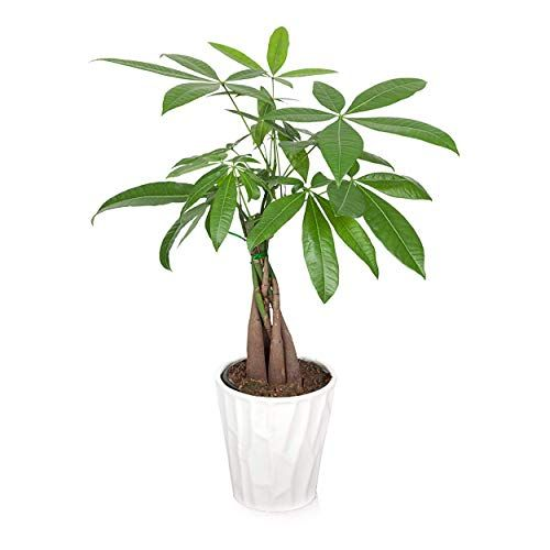 How To Care For A Money Tree Plant How To Grow A Money Tree Plant