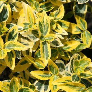 Euonymus fortunei 'Emerald' n 'Gold'