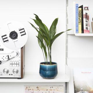 Aspidistra, Patch Plants, £20
