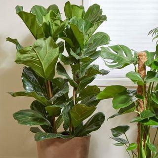 Fiddle Leaf Fig, Primrose, £85.99