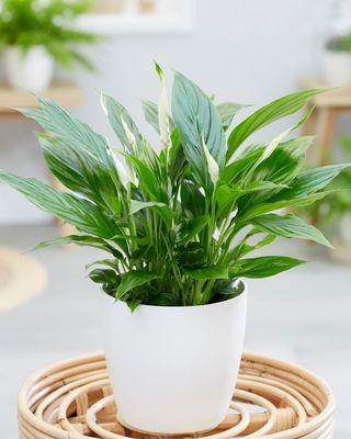 Peace lily - spathiphyllum wallisii