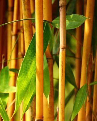 Bamboo - phyllostachys aureosulcata