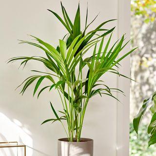 80cm Kentia Palm - Howea Forsteriana