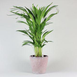 Areca Palm - Dypsis lutescens