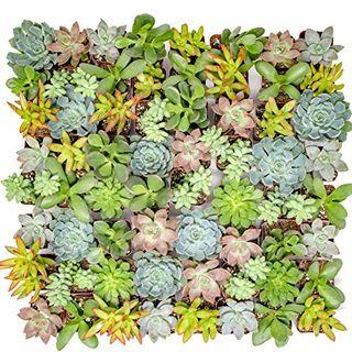 Live Succulent Plants