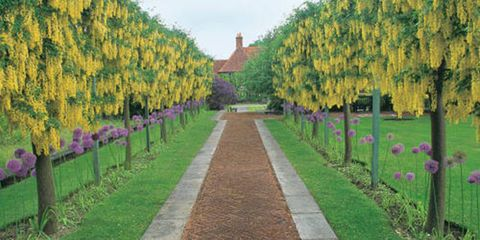 Giant purple alliums are a perfect foil for the weekping golden racemes of laburnum, or goldenchain tree, at Folly Farm in Berkshire, England.