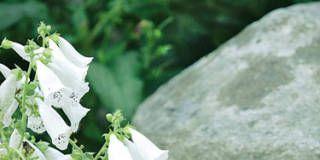 Flower, Woody plant, Petal, Flowering plant, Bellflower, Nightshade family, Subshrub, Pittosporaceae, mock orange,
