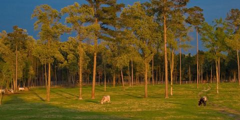 Nature, Natural environment, Pasture, Woody plant, Grassland, Grazing, Trunk, Biome, Forest, Savanna,