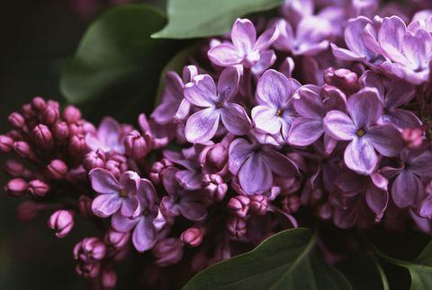 Petal, Flower, Purple, Violet, Pink, Lavender, Flowering plant, Spring, Lilac, Hydrangeaceae,