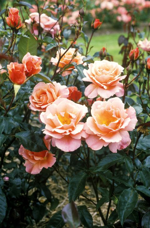 Plant, Flower, Petal, Pink, Peach, Rose family, Orange, Botany, Rose, Rose order,