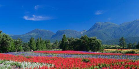 Plant, Natural landscape, Flower, Mountain range, Field, Petal, Agriculture, Plantation, Wildflower, Garden,