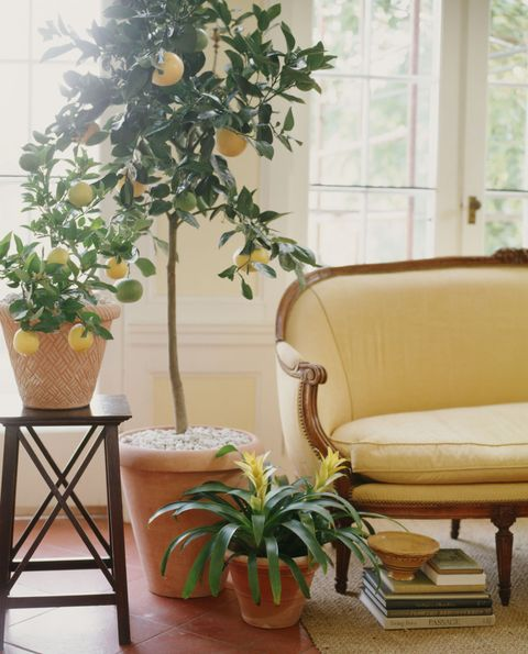 Flowerpot, Room, Interior design, Interior design, Citrus, Flooring, Houseplant, Fruit tree, Couch, Home,