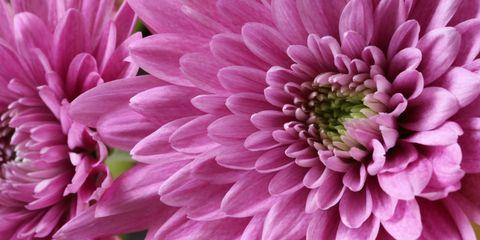 Petal, Flower, Pink, Purple, Colorfulness, Magenta, Close-up, Flowering plant, Violet, Annual plant,